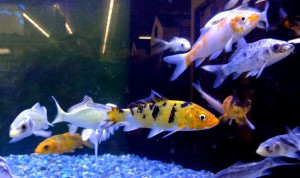 Part of the great selection of healthy KOI at B&B Pet Stop in Mobile, Alabama.