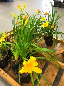 come see the yellow daylilies at B&B Pet Stop
